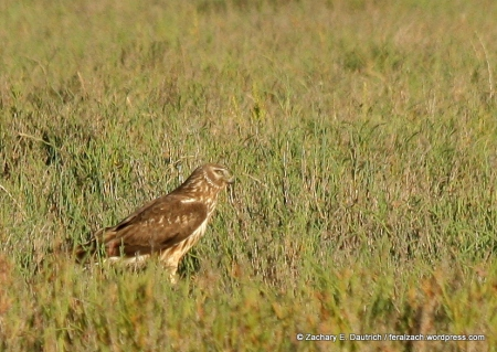 female northern harrier / Marin Co, CA