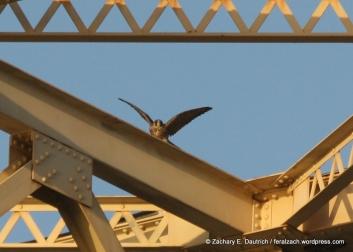 fledgling peregrine falcon / Alameda County, CA