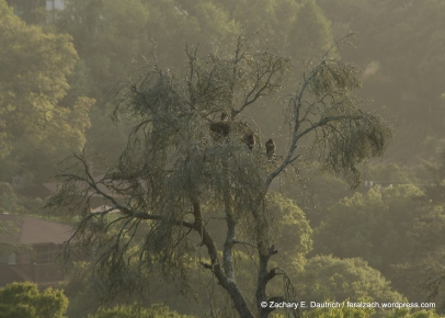 red-tailed hawks nest / Contra Costa County, CA