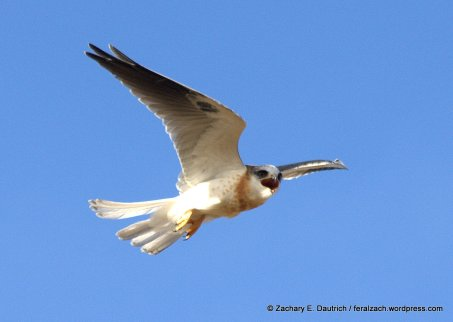 white-tailed kite fledgling
