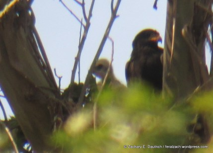 black hawk and eyas / Sonoma County, CA