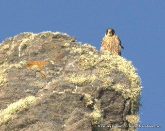 juvenile peregrine falcon / Sonoma Coast, CA