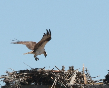 osprey with 3 chicks