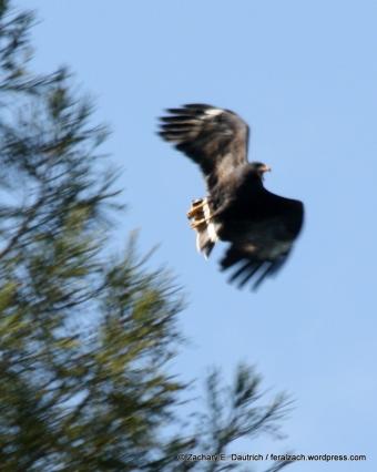 (not so) common black hawk