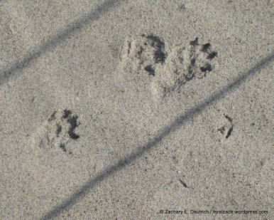 mink tracks with piping plover tracks / RI