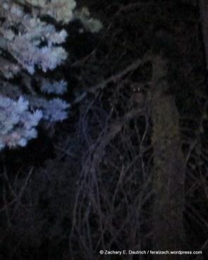 american pine marten / Lassen Nat Park CA