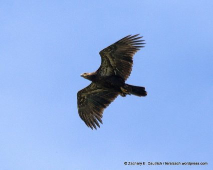 juvenile bald eagle / alameda county CA