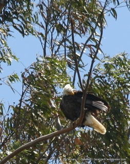 adult female aka ma bald eagle / alameda county CA