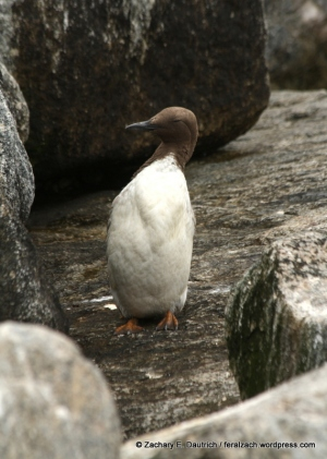 common murre taking a break / moss landing CA