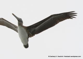 brown pelican / moss landing CA