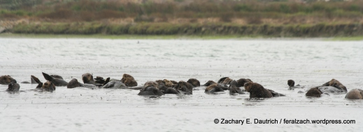 """raft"" of sea otters / moss landing CA"