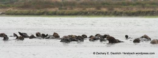 """raft"" of sea otters / moss landing CA"
