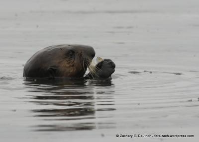 sea otter eating a mussel / moss landing CA