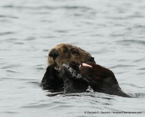 sea otter / moss landing CA