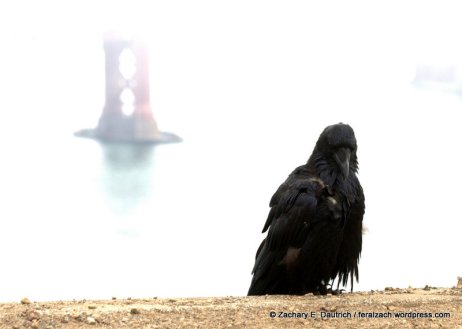 IMG_9489 v1 raven and gg bridge