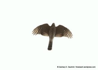 juvenile Sharp-Shinned Hawk / Hawk Hill Marin Headlands, CA