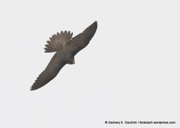 juvenile peregrine falcon / Hawk Hill GGRO Marin Headlands CA