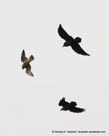 "juvenile peregrine falcon ""playing"" with two ravens / Hawk Hill GGRO Marin Headlands CA"