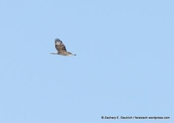 IMG_9592 juvenile ferruginous hawk