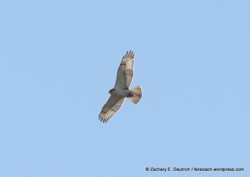 IMG_9596 juvenile ferruginous hawk