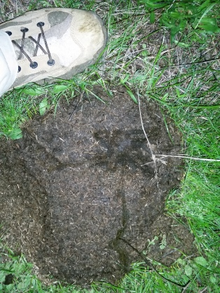 great-horned owl track in in cow dung / Contra Costa County CA