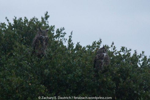 great-horned owl pair / Contra Costa County CA