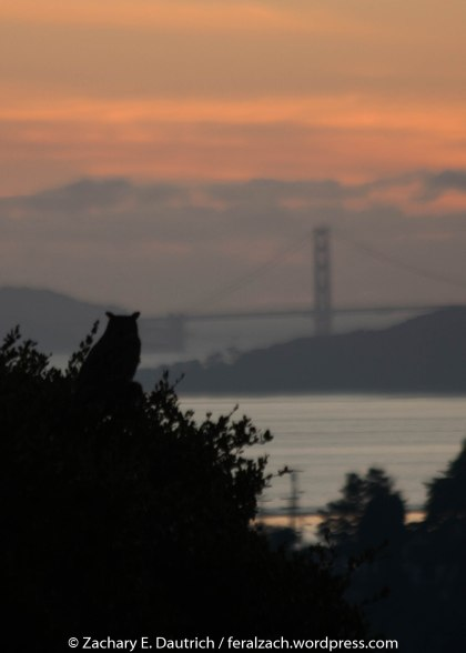 great-horned owl with golden gate bridge in background at sunset