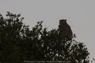 female great-horned owl