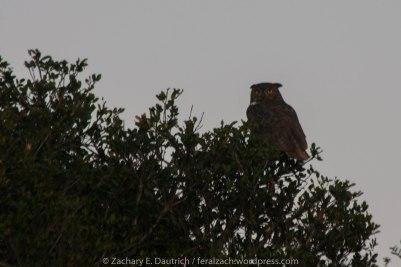 female great-horned owl