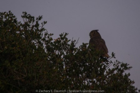 female great-horned owl gazing at male