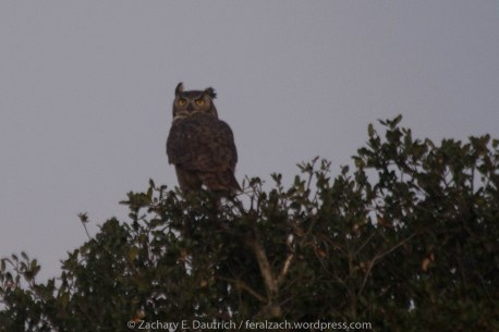 handsome fella, ready for love - male great-horned owl