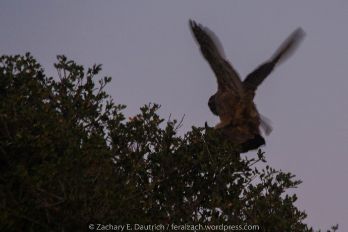 great-horned owls mating