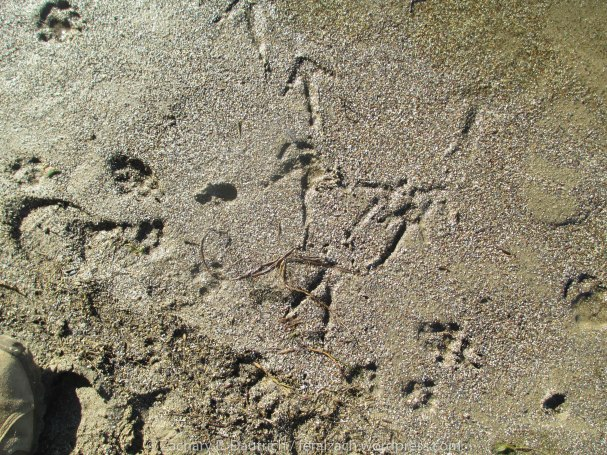 bobcat, coyote and turkey vulture tracks along lagoon