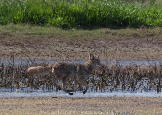 levitating coyote / Sacramento County CA