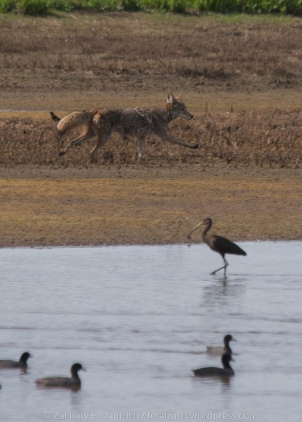 coyote with black ibis and mallards / Sacramento County CA