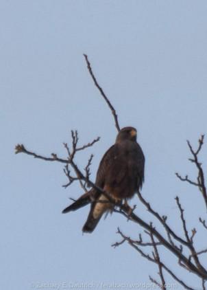 dark morph swainson's hawk / yolo county ca