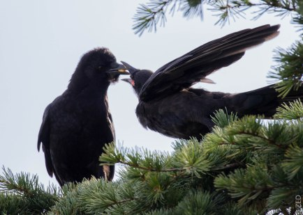 adult feeding young crow a goose berry