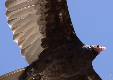 turkey vulture / point reyes national seashore CA