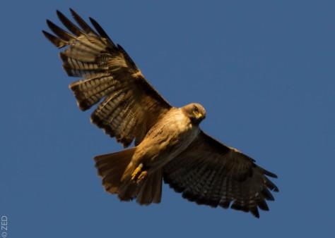 red-tailed hawk / marin headlands CA