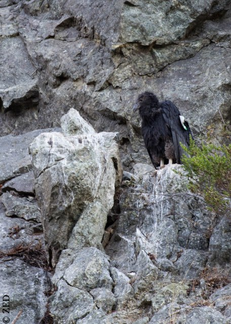 California Condor chick / Ventana Wilderness of Los Padres National Forest near Big Sur